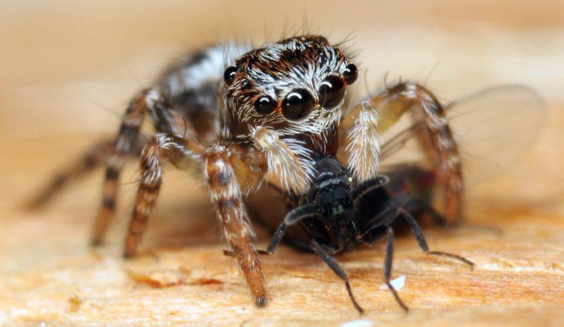 Qué-comen-las-arañas